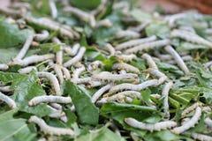 Шелкопряды на листьях шелковицы Стоковые Изображения