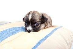 шелк щенка валика чихуахуа золотистый маленький малюсенький Стоковое Изображение RF