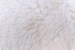шерстистая ватка овец для предпосылки и дизайна стоковое фото