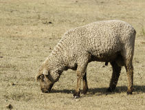 Шерстистые овцы в выгоне Стоковые Изображения RF