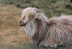 Шерстистые овцы говоря в его сне Стоковые Изображения RF