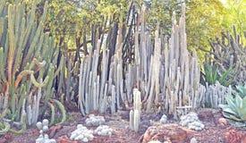Шерстистый кактус Тото стоковые фото