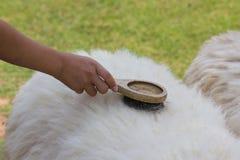 Шерсти овец щетки гребня Стоковая Фотография