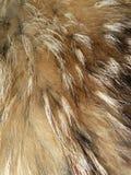 шерсть лисицы Стоковые Изображения RF
