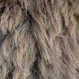 шерсть осла Стоковое Изображение