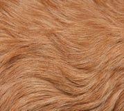 шерсть собаки Стоковое Изображение RF