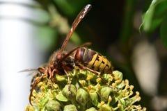 Шершень и пчела на цветке Стоковые Изображения
