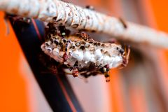 Шершень и свое гнездо стоковая фотография