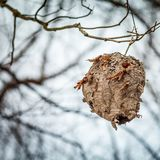 Шершни гнездятся в дереве стоковая фотография