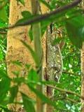 Шестокрыл (Malayan лемур летания) Стоковая Фотография RF