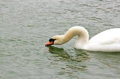 Шея лебедя Питьевая вода лебедя в замороженных озере & x28; France& x29; Стоковые Фото