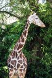 Шея жирафа головная длинная Стоковое Фото