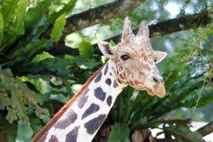 Шея жирафа головная длинная Стоковая Фотография RF