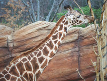 Шея жирафа, питьевая вода жирафа от дерева с коричневым утесом a Стоковое Фото