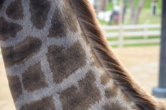Шея жирафа стоковое фото rf