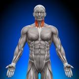 Шея - мышцы анатомии бесплатная иллюстрация
