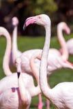 Шея фламингоа Стоковые Изображения