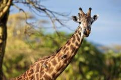 шея giraffe птиц Стоковое Фото