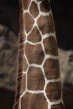 шея giraffe Стоковое Изображение