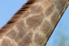 Шея ` s жирафа Стоковые Изображения RF