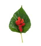 Шелковица и лист Стоковые Фото