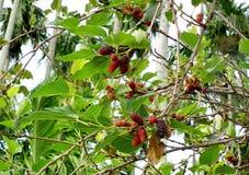 Шелковица: Цитрусовые фрукты плодоовощ семьи ягоды с противостарителями Таиландом Стоковое Изображение