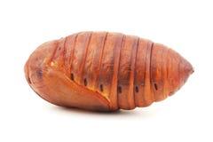 Шелкопряд Chrysalis, кокон silk глиста Стоковые Фото