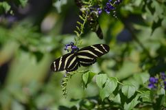 Шикарная бабочка зебры на некоторых голубых цветках Стоковые Фотографии RF
