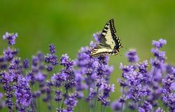 Шикарная бабочка на лаванде Стоковые Фото