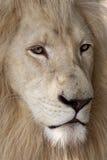 шикарная белизна льва Стоковое Изображение RF