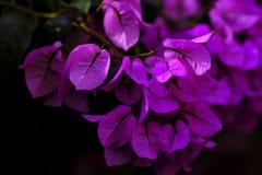 Шикарная бугинвилия лианы, розовый взрыв стоковые изображения rf