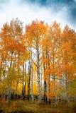 Шикарная вертикальная съемка леса деревьев березы и осины с яркими яркими листьями осени стоковые фотографии rf