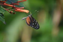 Шикарная золотая бабочка Polinating Longwing цветок Стоковое Изображение