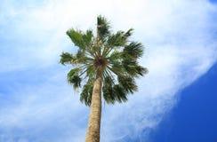 Шикарная крона пальмы на голубом небе и белизне заволакивает предпосылка Остров Аруба Стоковые Фотографии RF