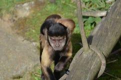 Шикарная мать и Tufted ребенком обезьяна Capuchin Стоковая Фотография RF