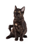 Шикарная чернота и котенок Tan отечественный Longhair Стоковые Изображения RF