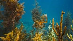 Шикарное густолиственное Seadragon закамуфлированное как морская водоросль стоковые изображения rf