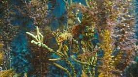 Шикарное густолиственное Seadragon закамуфлированное как морская водоросль стоковое фото rf
