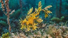 Шикарное густолиственное Seadragon закамуфлированное как морская водоросль стоковое фото