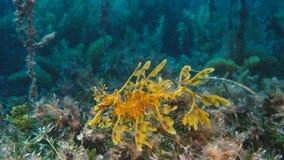 Шикарное густолиственное Seadragon закамуфлированное как морская водоросль стоковое изображение