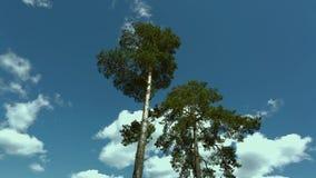 Шикарное дерево сосен вверх вниз с взгляда на голубом небе с белой предпосылкой облаков акции видеоматериалы