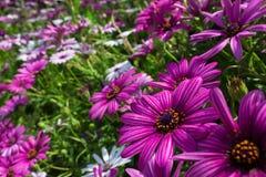 Шикарное поле фиолетовых и белых африканских маргариток Стоковые Фотографии RF