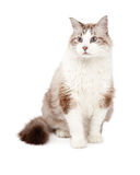 Шикарное усаживание кота Ragdoll Стоковое фото RF