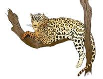 Шикарное Jaquar lounging в высокой ветви Стоковое Фото
