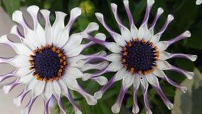 Шикарные белые цветки Стоковая Фотография