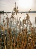 Шикарные золотые тростники на озере встают на сторону внутри в теплом свете вечера на озере Murten в Швейцарии стоковые фото