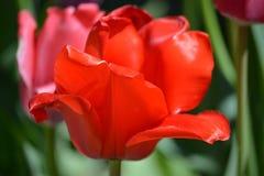 Шикарные красные тюльпаны в цветени Стоковая Фотография