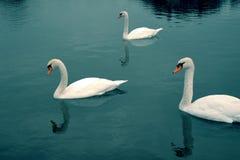 Шикарные лебеди на темносинем озере горных вершин стоковые изображения