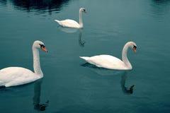 Шикарные лебеди на темносинем озере горных вершин стоковая фотография rf