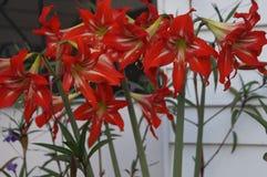 Шикарные цветки лилии стоковое изображение rf